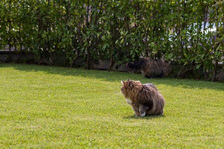 Beautiful siberian cat in a garden, playing on the grass green 版權商用圖片 - 131735929
