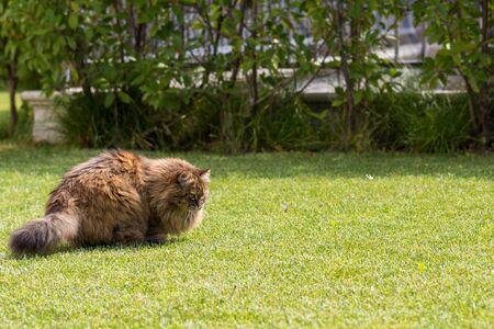 Beautiful siberian cat in a garden, playing on the grass green 版權商用圖片 - 131735862
