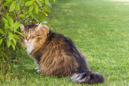 Beautiful siberian cat in a garden, playing on the grass green 版權商用圖片 - 131735705