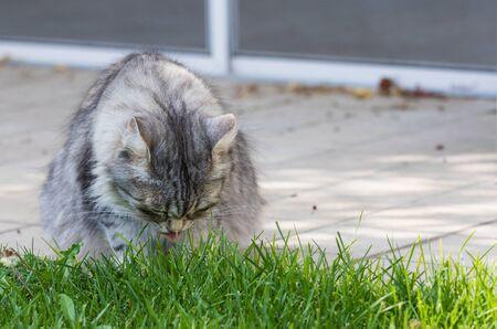 Hypoallergenic cat with long hair outdoor in a garden. Siberian breed of pet 版權商用圖片 - 131735945