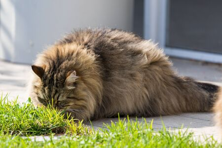Hypoallergenic cat with long hair outdoor in a garden. Siberian breed of pet 版權商用圖片 - 131736029