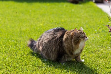 Hypoallergenic cat with long hair outdoor in a garden. Siberian breed of pet