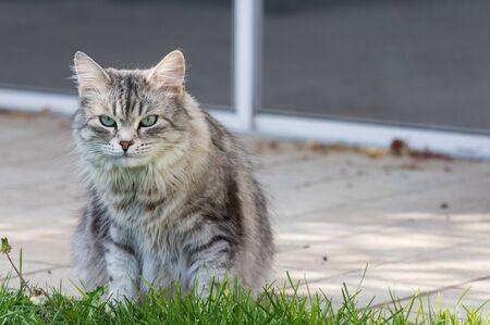 Hypoallergenic cat with long hair outdoor in a garden. Siberian breed of pet 版權商用圖片 - 131735878