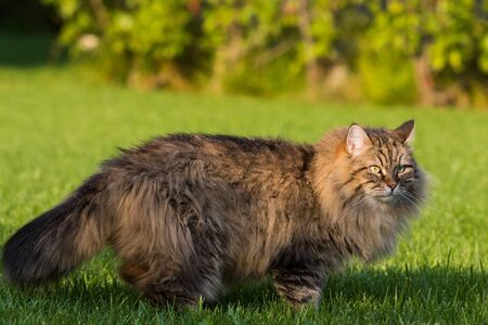 Gorgeous cat of siberian breed playing outdoor. Hypoallergenic pet of livestock 版權商用圖片