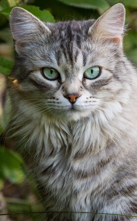 Gorgeous cat of siberian breed playing outdoor. Hypoallergenic pet of livestock Stock fotó