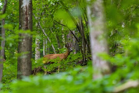 Brown roe in a forest, wild animal under the plants Stock Photo