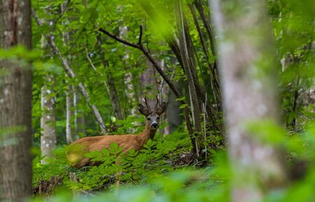 Brown roe in a forest, wild animal under the plants Stock Photo - 131735905