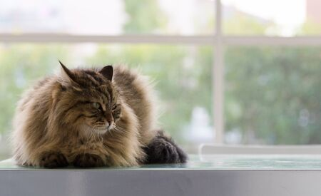 Beautiful brown tabby cat of siberian breed in relax in a house. Hypoallergenic animal of livestock 版權商用圖片 - 131735992