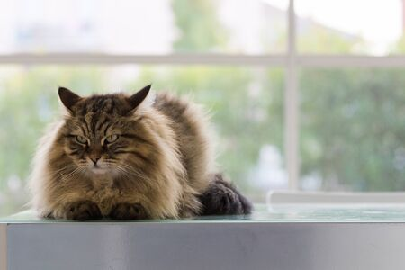 Beautiful brown tabby cat of siberian breed in relax in a house. Hypoallergenic animal of livestock 版權商用圖片 - 131735817