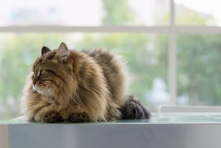 Beautiful brown tabby cat of siberian breed in relax in a house. Hypoallergenic animal of livestock 版權商用圖片 - 131735839