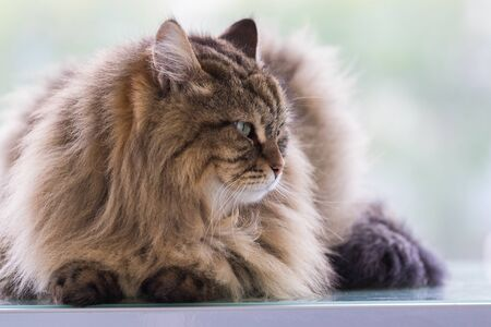 Beautiful brown tabby cat of siberian breed in relax in a house. Hypoallergenic animal of livestock