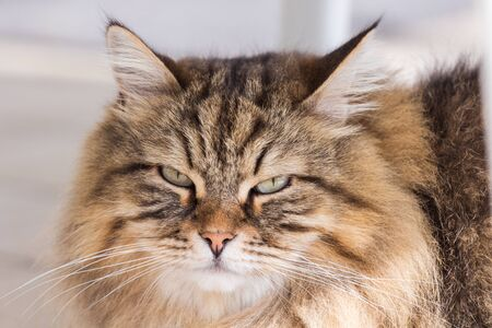 Long haired cat in relax indoor, siberian purebred domestic animal 版權商用圖片 - 132029567