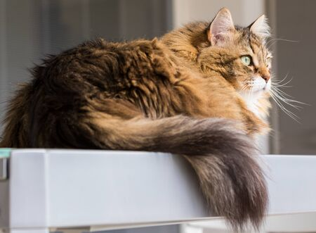 Long haired cat in relax indoor, siberian purebred domestic animal 版權商用圖片 - 132029580