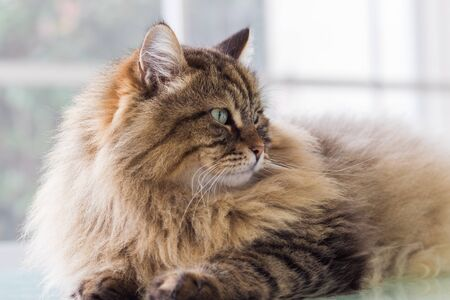 Long haired cat in relax indoor, siberian purebred domestic animal 版權商用圖片 - 132029576
