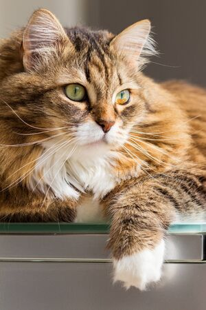 Long haired cat in relax indoor, siberian purebred domestic animal 版權商用圖片 - 132029579