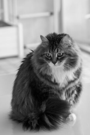 Hypoallergenic adult cat of siberian breed with long hair.Adorable domestic animal of livestock 版權商用圖片 - 132263043