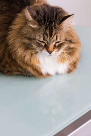 Hypoallergenic adult cat of siberian breed with long hair.Adorable domestic animal of livestock 版權商用圖片 - 132262993