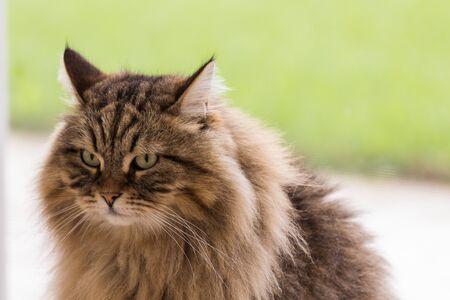 Beauty pet of siberian cat in relax indoor 版權商用圖片 - 132270997