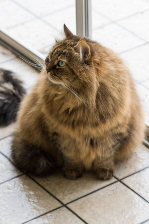 Hypoallergenic adult cat of siberian breed with long hair.Adorable domestic animal of livestock 版權商用圖片