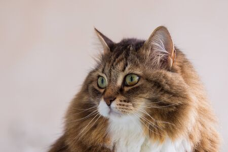 Beauty pet of siberian cat in relax indoor 版權商用圖片