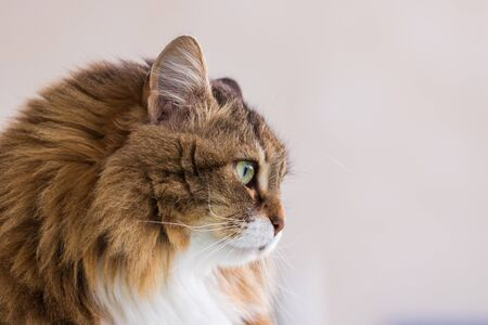 Hypoallergenic adult cat of siberian breed with long hair.Adorable domestic animal of livestock 版權商用圖片 - 132270018