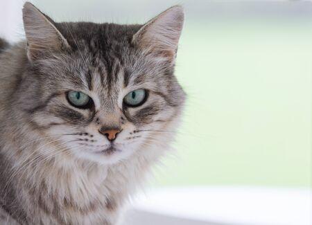 Beauty pet of siberian cat in relax indoor 版權商用圖片
