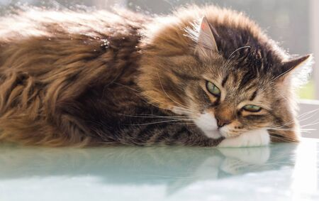 Adorable cat with long hair in relax, siberian purebred animal 版權商用圖片 - 132831300