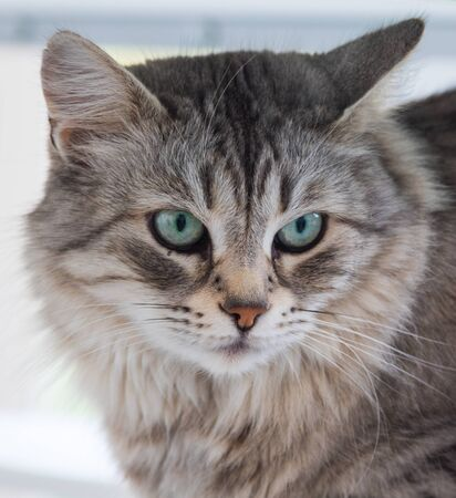 Adorable cat with long hair in relax, siberian purebred animal 版權商用圖片 - 132829165