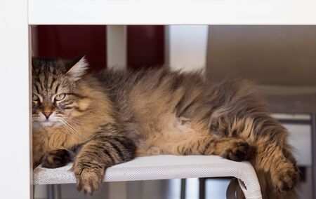 Adorable cat with long hair in relax, siberian purebred animal 版權商用圖片 - 132831327