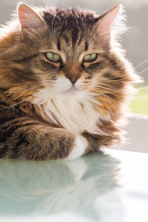 Adorable cat with long hair in relax, siberian purebred animal 版權商用圖片 - 132831445