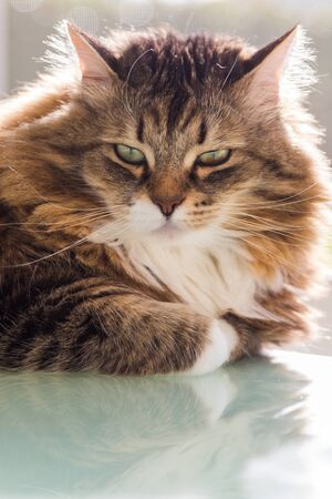 Adorable cat with long hair in relax, siberian purebred animal 版權商用圖片 - 132832172