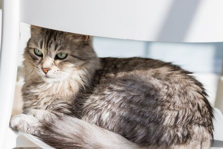 Adorable cat with long hair in relax, siberian purebred animal 版權商用圖片