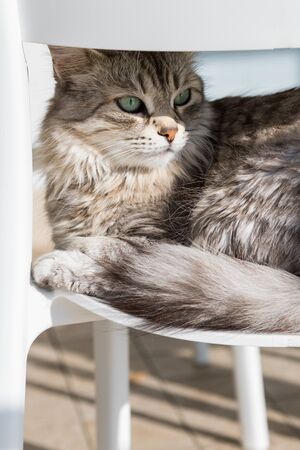 Adorable cat with long hair in relax, siberian purebred animal 版權商用圖片 - 132832065
