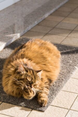 Adorable cat with long hair in relax, siberian purebred animal 版權商用圖片 - 132831823