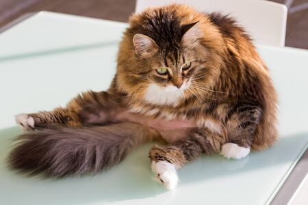 Adorable cat with long hair in relax, siberian purebred animal 版權商用圖片 - 132832811