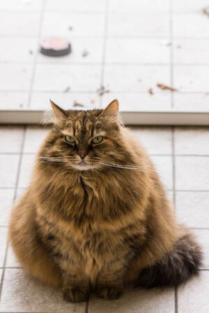 Cute siberian cat in relax in a garden. adorable domestic pet