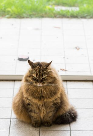 Cute siberian cat in relax in a garden. adorable domestic pet 版權商用圖片 - 133192406