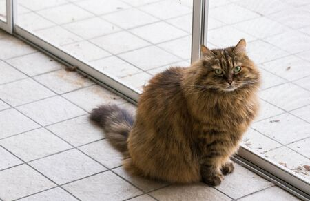 Cute siberian cat in relax in a garden. adorable domestic pet 版權商用圖片 - 133193270