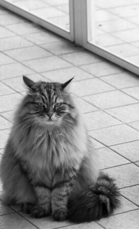 Cute siberian cat in relax in a garden. adorable domestic pet 版權商用圖片 - 133192625