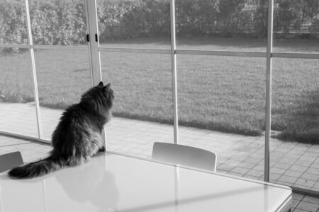Beautiful long haired cat of siberian breed in relax outdoor 版權商用圖片