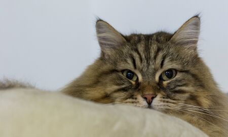 Long haired cat of siberian breed in relax indoor
