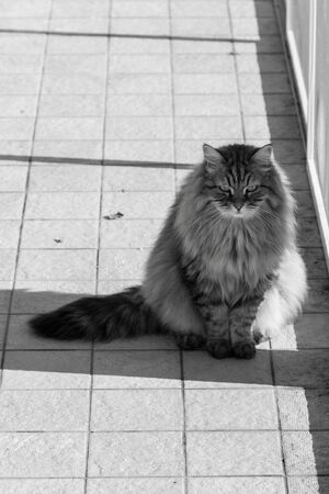 Pretty domestic cat of siberian breed in relax outdoor
