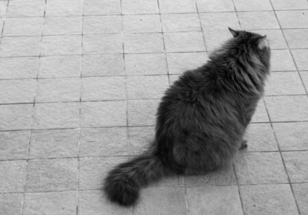 Adorable cat of siberian breed with long hair