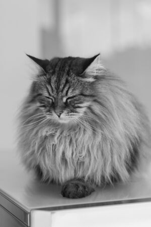 Beautiful brown cat of siberian breed relaxes in the house