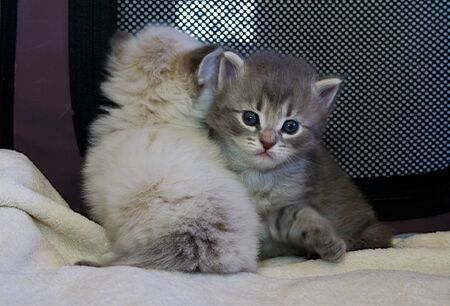 Adorable fur two baby cats relaxes in the house, siberian breed