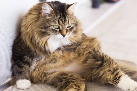 Beautiful long haired cat in relax on a garden chair, siberian breed 版權商用圖片