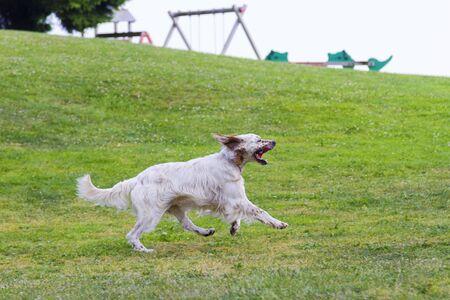 English setter dog runs on the grass green 版權商用圖片