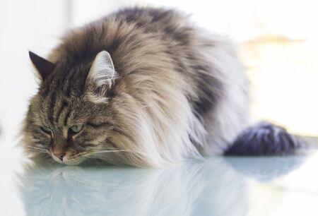 Long haired cat lying in relax in a garden, siberian breed male gender