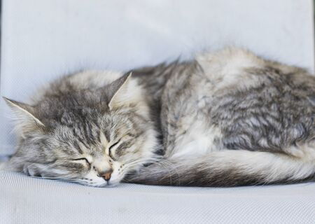 Long haired cat sleeps on a chair, siberian breed female gender