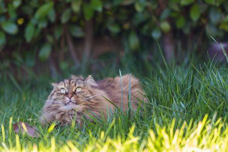 Siberian cat in relax in a garden, hypoallergenic pet of livestock 版權商用圖片